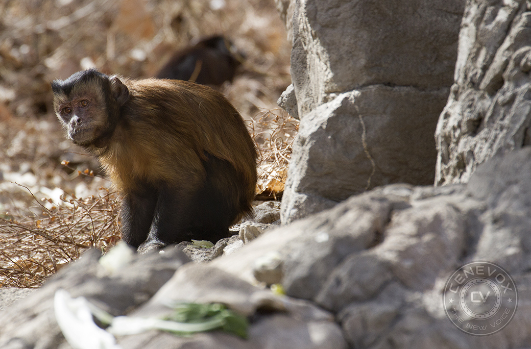 A hooded capuchin forages for food on the Denver Zoo's Monkey Island.