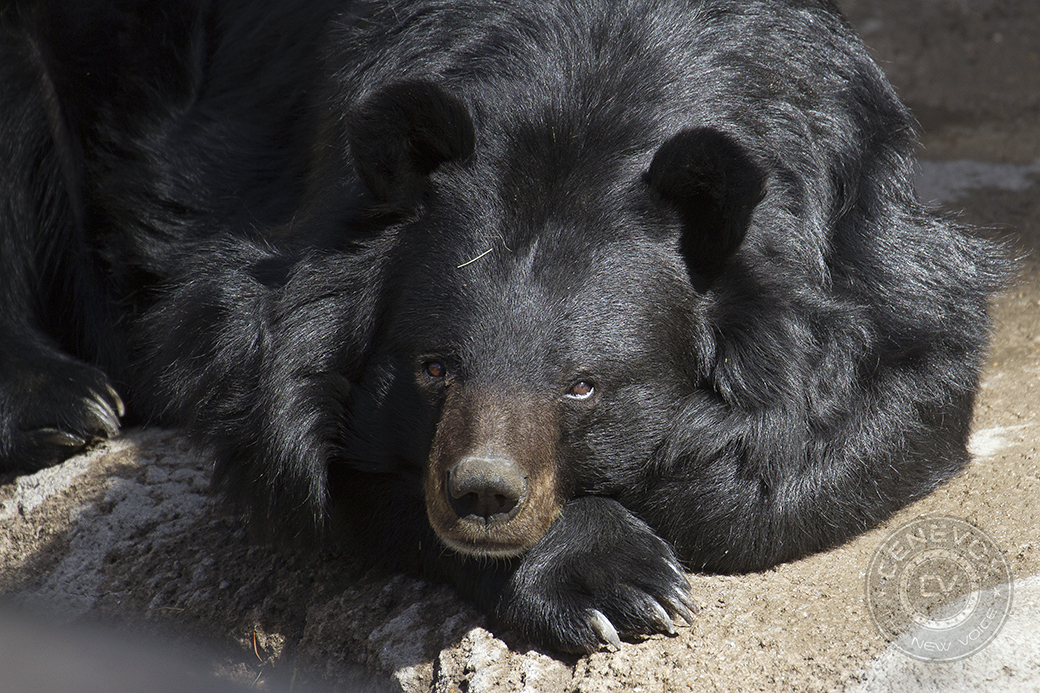 An Asiatic black bear, Ursus thibetanus, rests on his paw at the Denver Zoo's Bear Mountain exhibit.