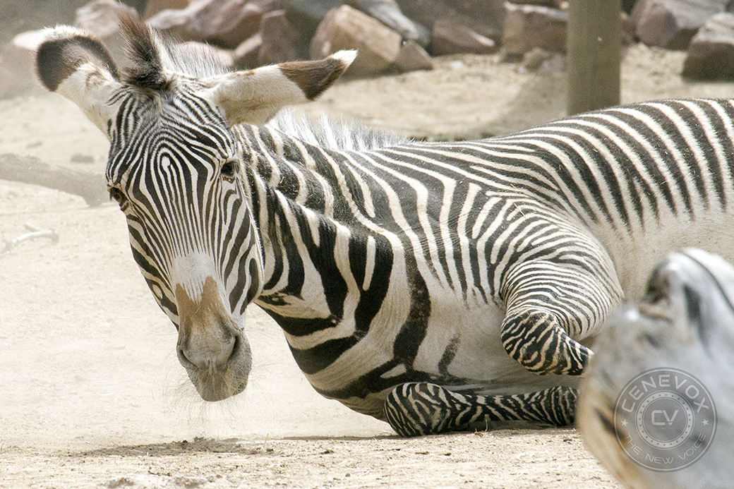 A Grevy's Zebra, Equus grevyi, stirs up a dust cloud at the Denver Zoo. Zebras are one of many mammals that groom by wallowing in the dirt.