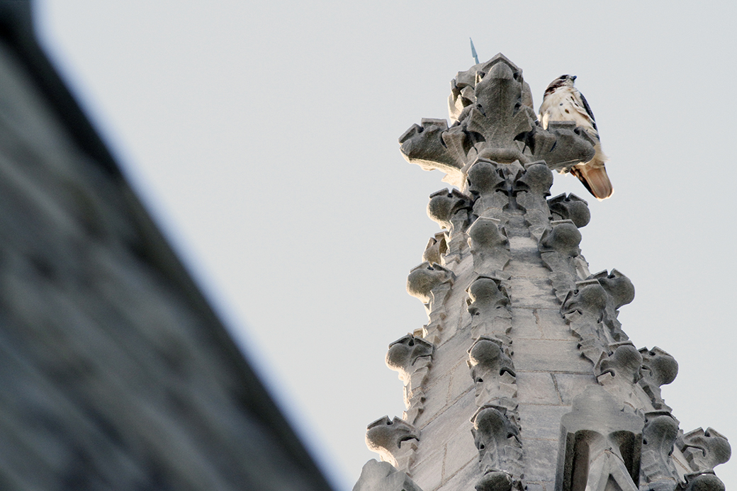 A peregrine falcon lights on one of the four central spires of the University of Missouri's Memorial Union in Columbia, Mo.