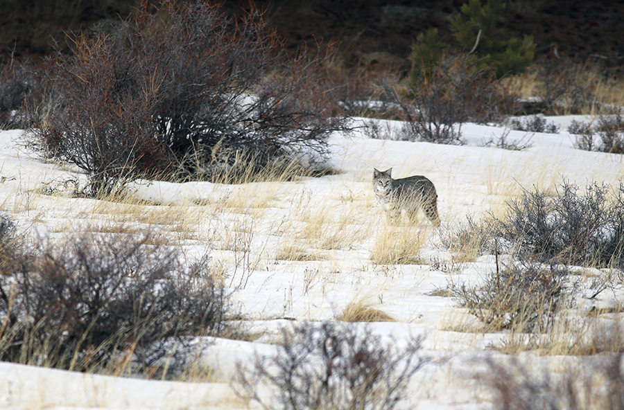 A female bobcat hunts small prey outside the Beaver Meadows entrance to the Rocky Mountain National Park on Jan. 5, 2016.